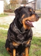 Rottweiler, 2 years, Black